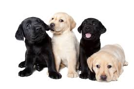 guide dogs - puppies